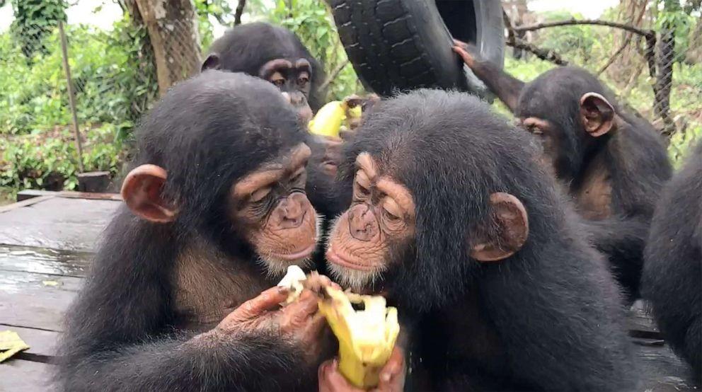 Chimps 10